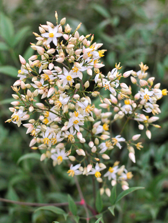 White blooms of Nandina