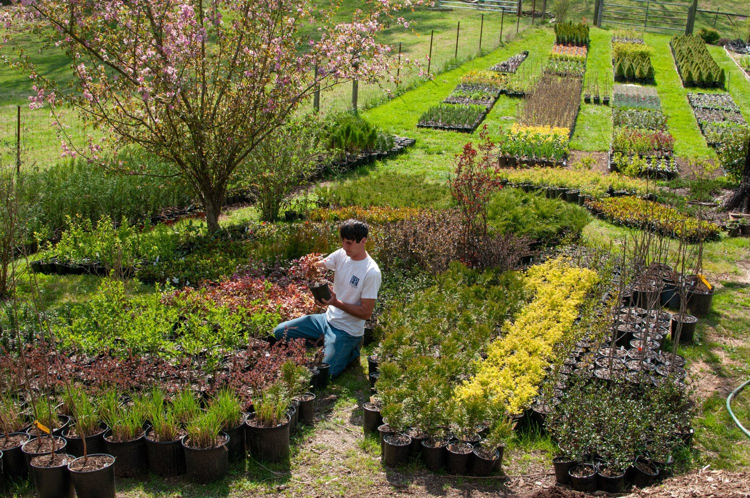 Young man checking roots of potted plant among large grouping of nursery shrubs