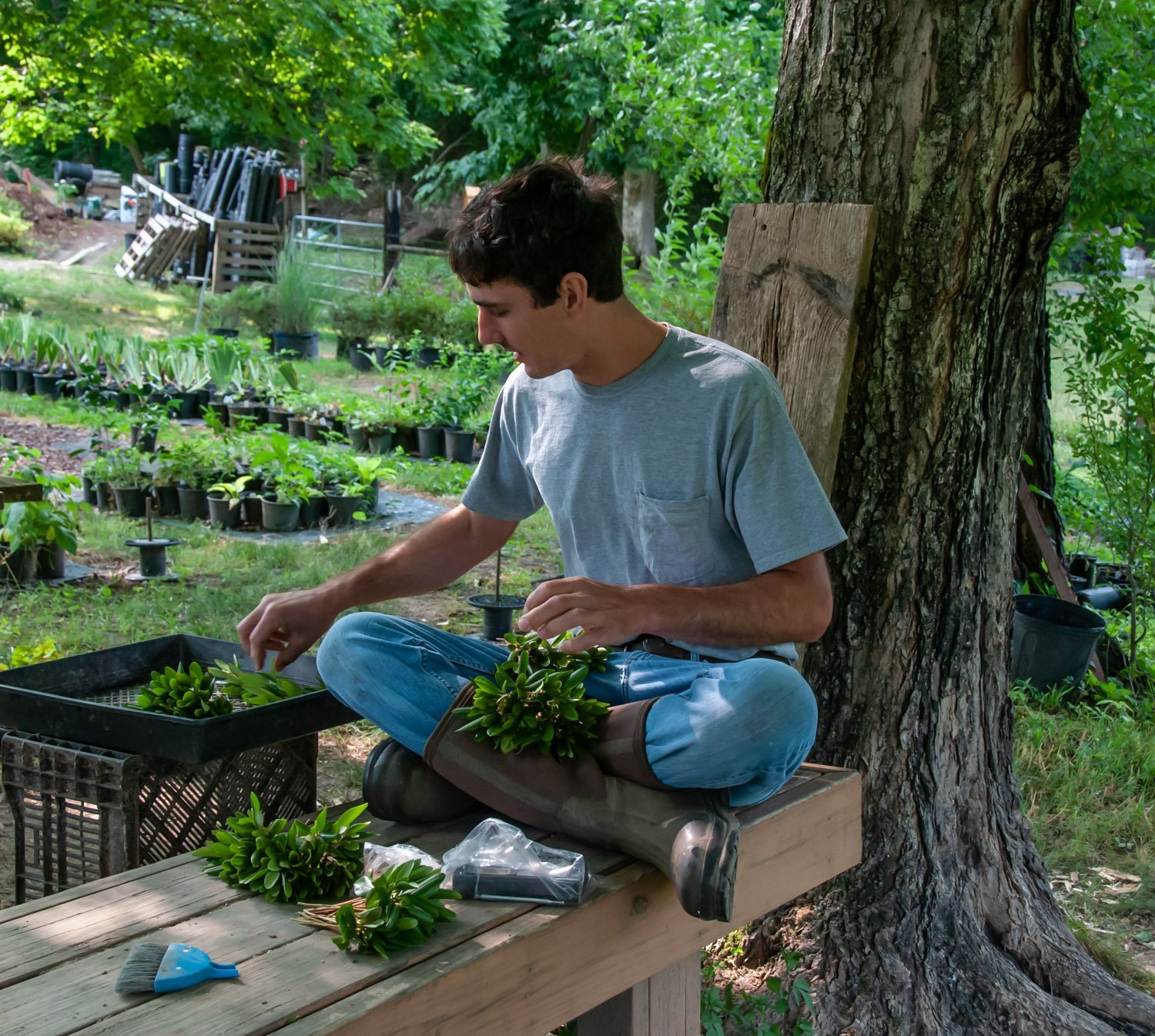 Young man wearing rubber boots, sitting cross-legged on wooden bench stripping leaves from shrub stem cuttings in the shade of an old maple tree
