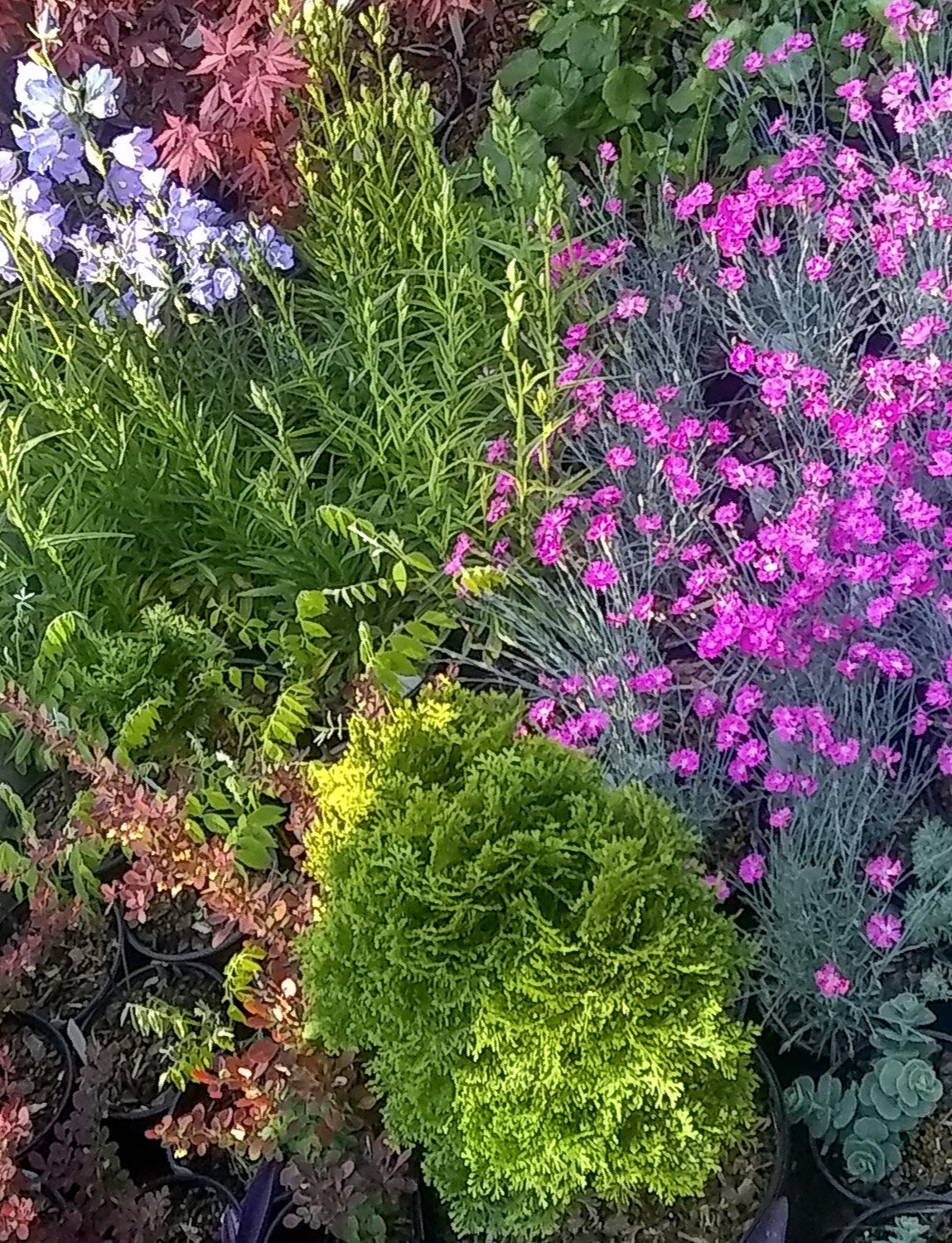 Grouping of an evergreen shrub and pink blooming perennials for nursery sale