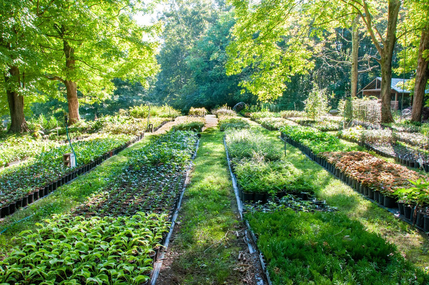 Shady nursery rows of young perennials with mature, vibrant green maple trees backlit by bright sunshine