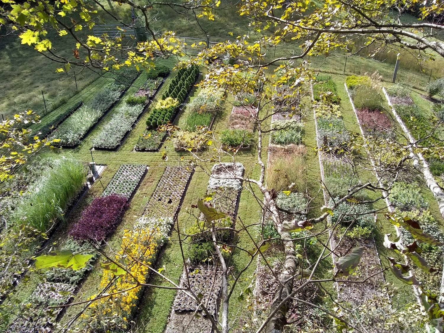 Birdeye view from maple tree of four foot wide neat rows of nursery plants with grass walkways