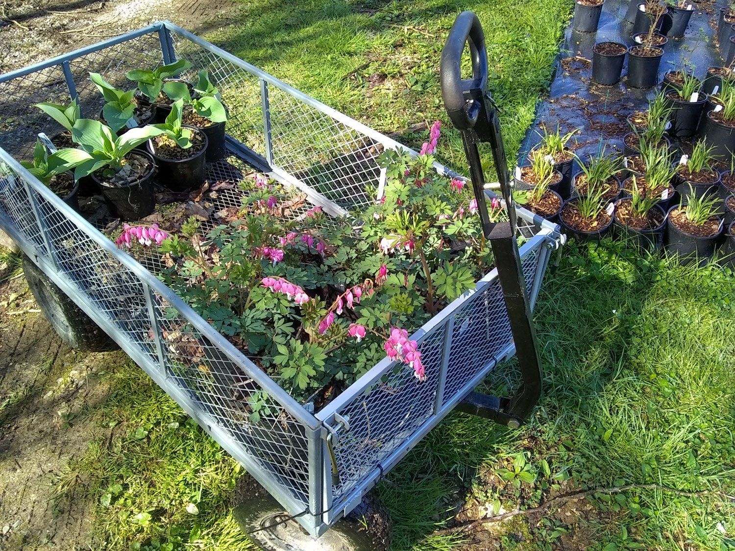 Gray mesh nursery wagon loaded with blooming pink bleeding heart and hosta