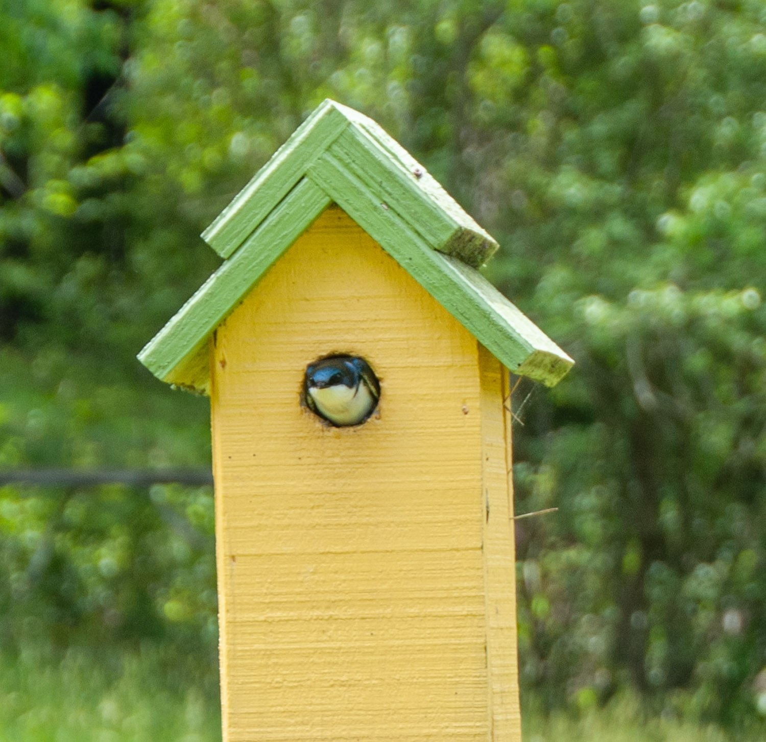 Blue tree swallow sticking its head out of tall yellow birdhouse with mint green roof
