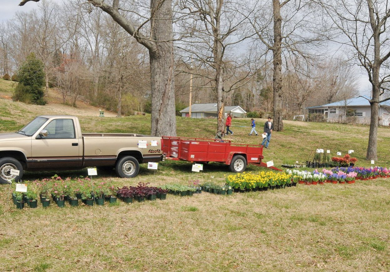 Pots of blooming daffodils and hyacinths for sale lined up in front of an older, brown truck with a red trailer parked in the front yard